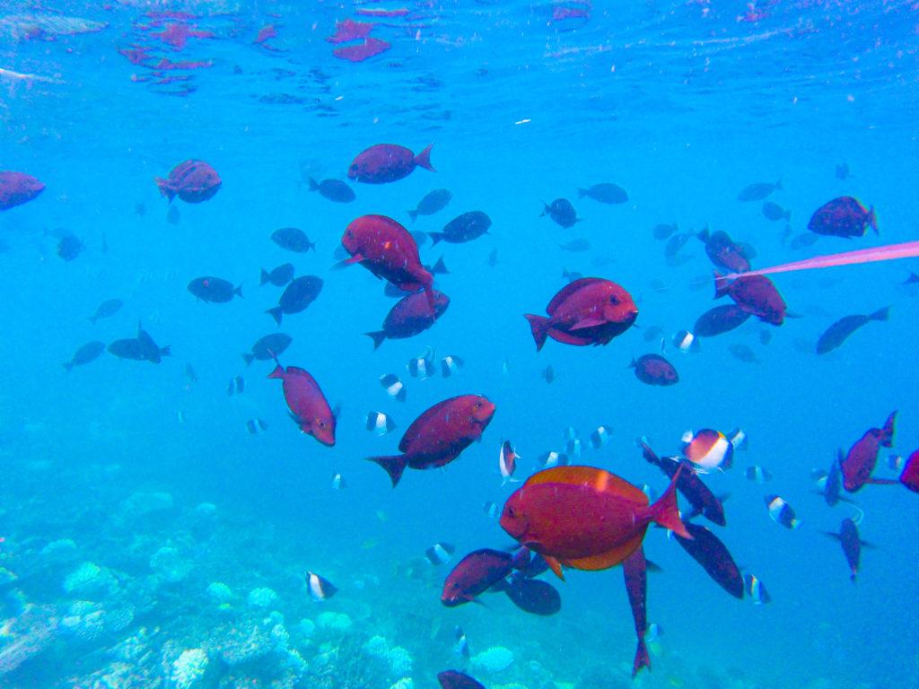 Maldive quale isola scegliere Snorkeling mondo marino