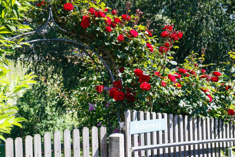 La via delle rose a Spiez