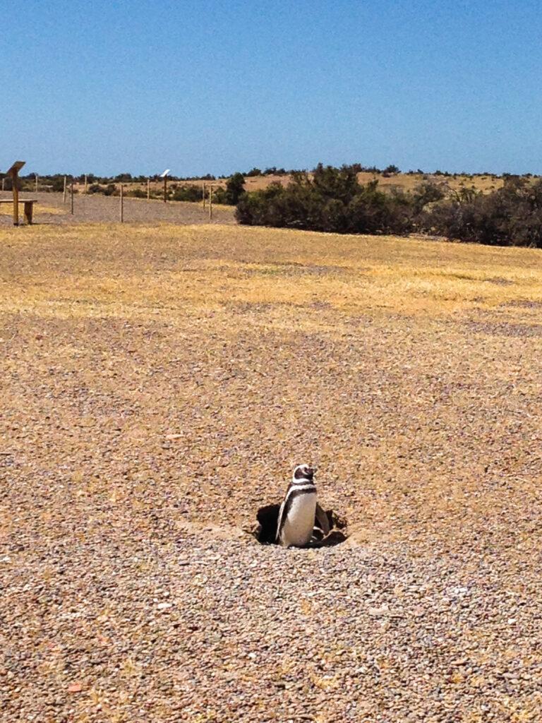 I pinguini di Magellan