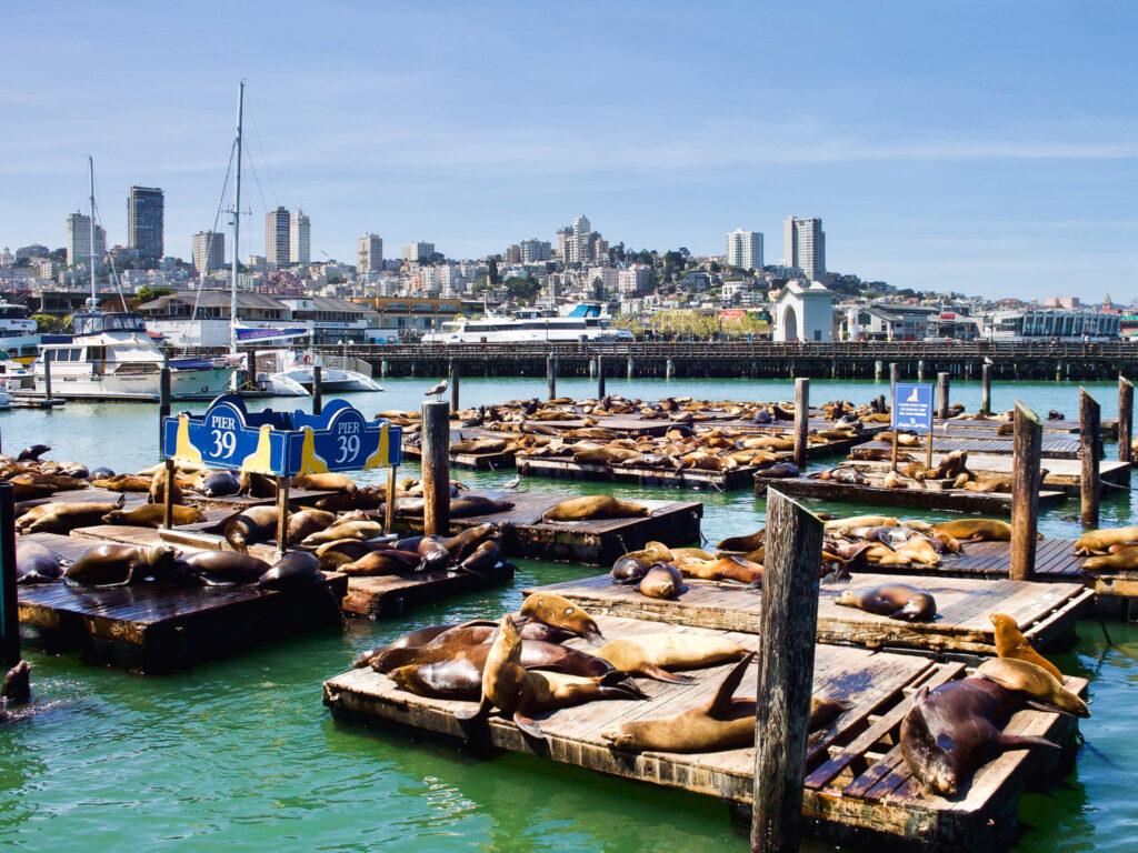 Leoni marini San Francisco