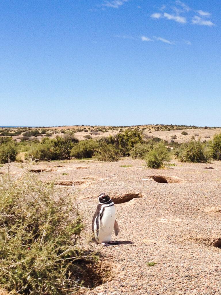 Pinguini a Punta Tombo